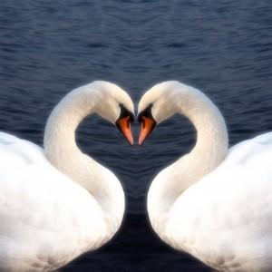 Swan Heart dreamstime_l_26493231